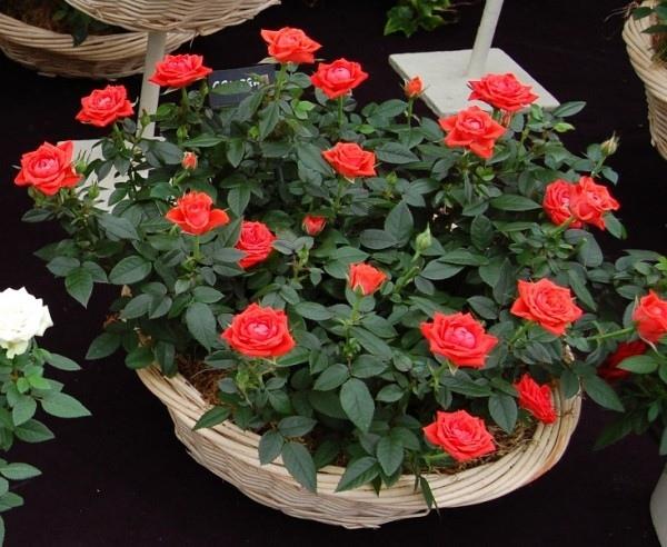 РОЗЫ В ПОДАРОК. СТОИТ ЛИ ВЫБИРАТЬ КОМНАТНУЮ РОЗУ Вырастить розу в саду не просто. Этот цветок требует постоянного внимания: нужно вовремя поливать и вносить удобрения, беречь от болезней и