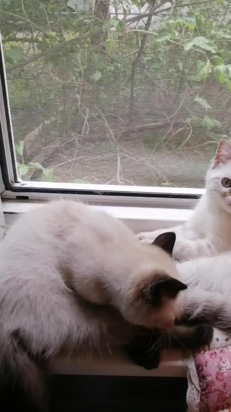 Шотландские котята, свободны, Питомник Nicepoint