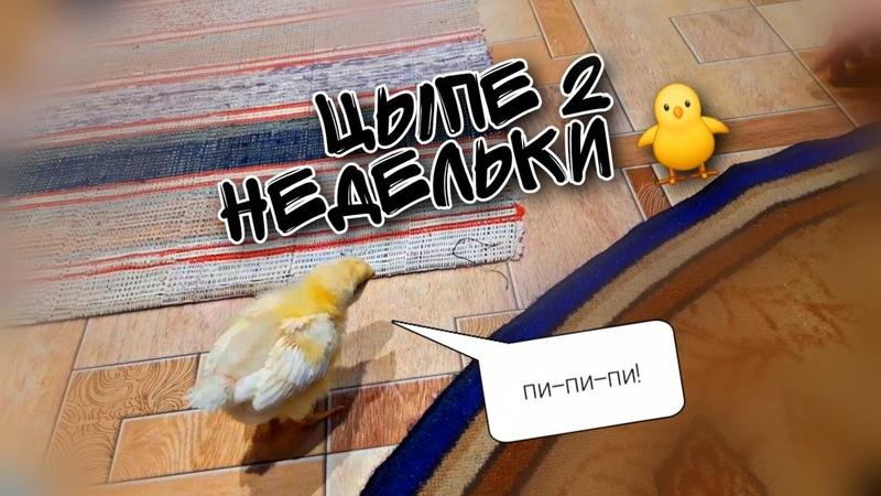 История цыпленка часть 3