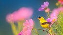 Peaceful Instrumental Music, Relaxing Nature music 'Song Birds of Morning By Tim Janis