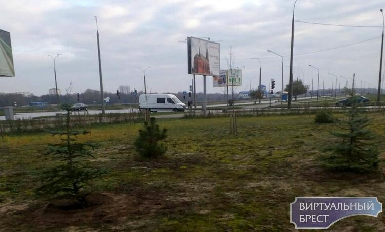 На ул. Октябрьской революции специалисты ЖКХ высадили ёлочки