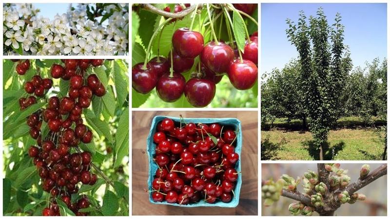 Колоновидная вишня МОРОЗОВКА - урожай без хлопот уже на следующий год!