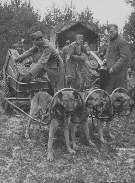 Солдаты 6-й горной дивизии СС «Норд» укладывают боеприпасы в собачьи упряжки. 1943