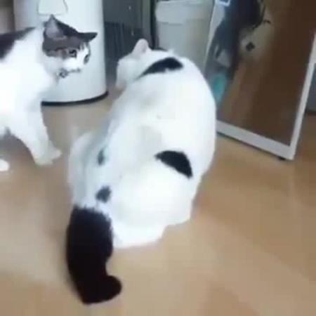 Кот пацифист