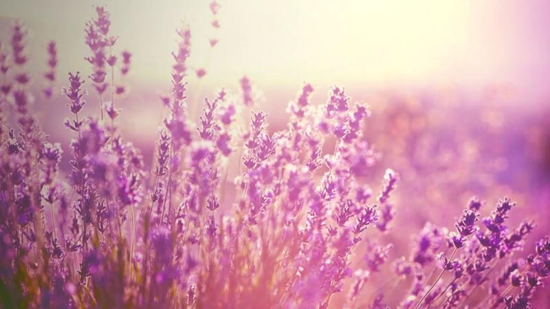 Насыщение Счастьем Дома, Магическая Сила Лаванды, Лаванда — Цветок Любви