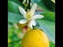 Лимоны, мандарины, апельсины уход, выращивание