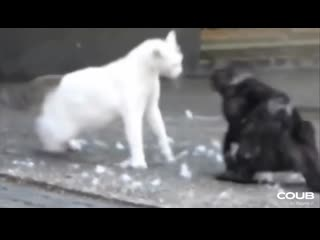 Ниндзя-коты