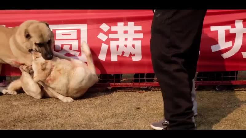 Kangal Roki Usakli Raki vs Volkodav Aptar China Cin match