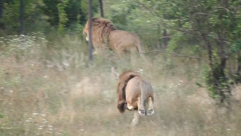 Львицы спят Львы метят Олежка бежит Тайган Evening lions in the savannah