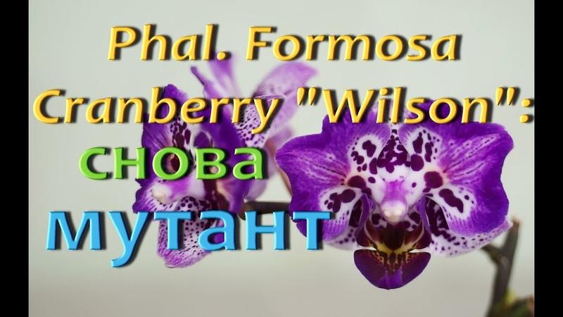 ОРХИДЕЯ БАБОЧКАснова МУТАНТ,Phal. Formosa Cranberry Wilson