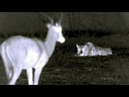 A Leopard's Carefully Planned Ambush is Ruined by a Hyena