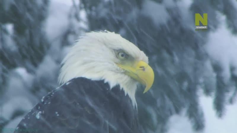 Самый дикий город Аляски 04 . Спасение белоголового орлана Познавательный природа животные 2016