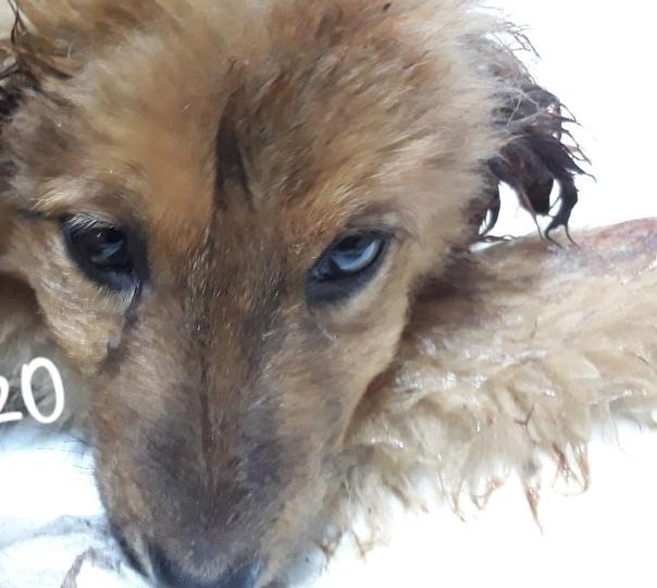 В Копейске неизвестные люди подкинули к приюту изуродованного щенка Фото тут v.com/ploxie_novosti_ujasСостояние малышки шокировало даже бывалых - у неё срезана кожа на ушах и снят кусок шкуры на