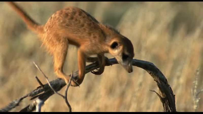 BBC Ребятам о зверятах Сурикаты