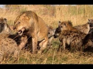 Um leão x dezesseis hienas- macho mostra quem é que manda! Incrível!