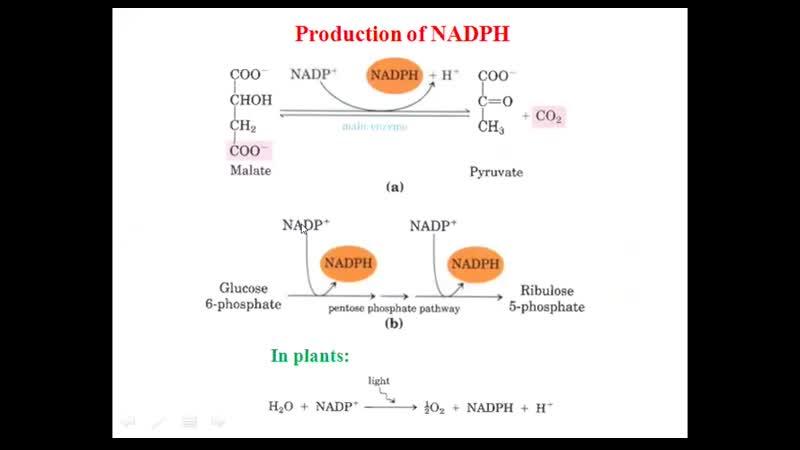 Биохимия - биосинтез жирных кислот
