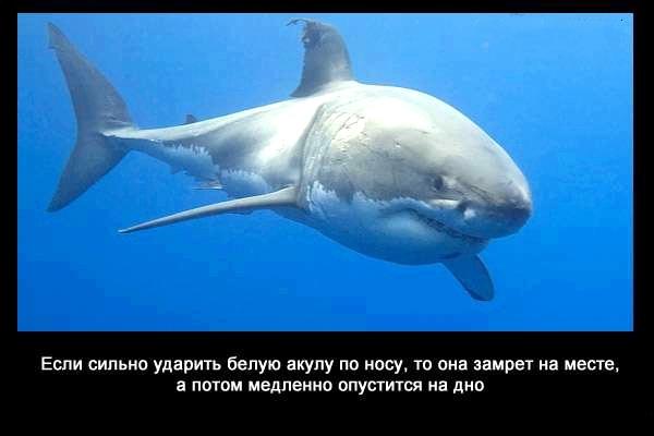 валтея - Интересные факты о акулах / Хищники морей.(Видео. Фото) 7jMLzXaYlfg