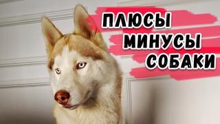 СТОИТ ЛИ ЗАВОДИТЬ СОБАКУ? Сибирская Хаски Плюсы и Минусы.