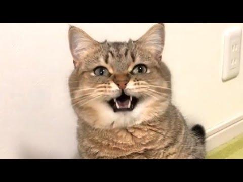 Sweet Munchkin Cat Meow I Want To Talk
