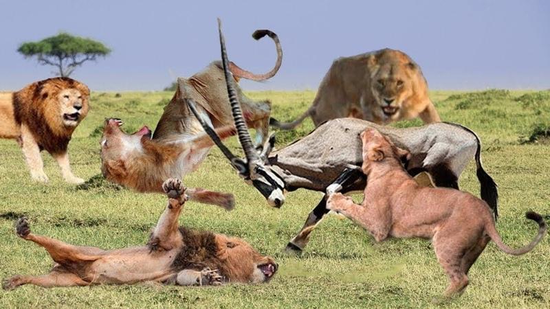 Nhìn đã thấy thốn chứ nói gì sợ Vũ khí bất diện trừng trị Vua Sư Tử 3 Lần săn mồi Thảm Bại Nhất