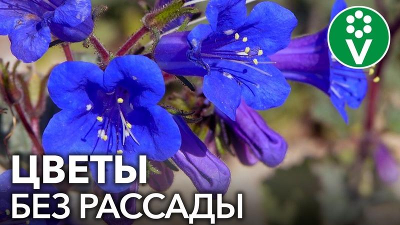 ПОСЕЙТЕ ЭТИ ЦВЕТЫ СРАЗУ В ГРУНТ Самые красивые и неприхотливые однолетние цветы для сада