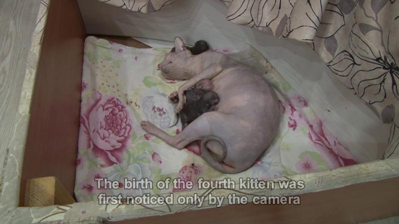 Плакса Дапкунайте принесла нам ещё четверых котят Окот Роды сфинксов Memory Cats Sarah Brightman