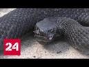 На Урале укушенному змеей мужчине не смогли оказать помощь из-за отсутствия противоядия - Россия 24