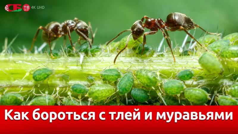 Тля и муравьи – лучший способ борьбы на даче   видео 4K UHD