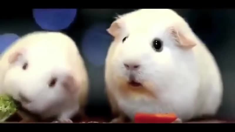 хомячки