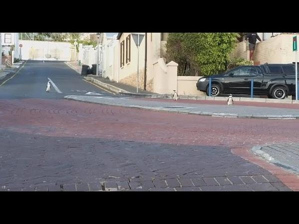 Пингвины прогуливаются по улице Кейптауна во время карантина Covid 19