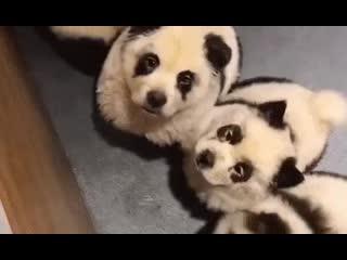 Маленькие панды в китайском кафе