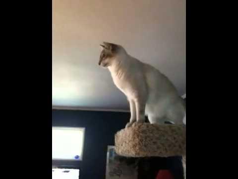 Яванез яванская кошка порода кошек