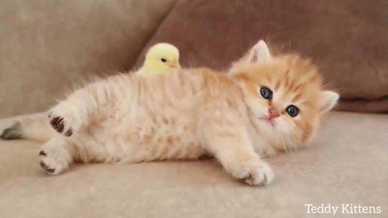 Котенок сладко спит вместе со своим другом цыпленком