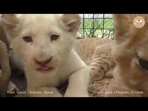 Львята и тигрята детский сад Тайгана Cubs lion and tiger kindergarten of Taigan
