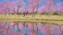 [4K] 古河公方総合公園の花桃 - Peach tree blossoms in full bloom at Koga Kubo Park - (shot on BMPCC6K)