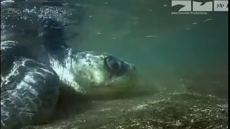 Коста Рика черепахи mp4