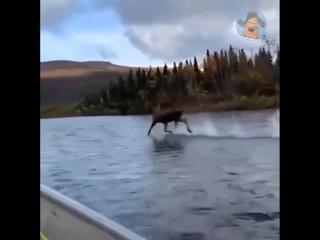 Диво дивное, чудо чудное! Святой лось.