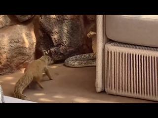 Кобра против мангуста.Схватка