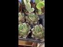 Видео от Адениум дома семена суккулентов и экзотов.