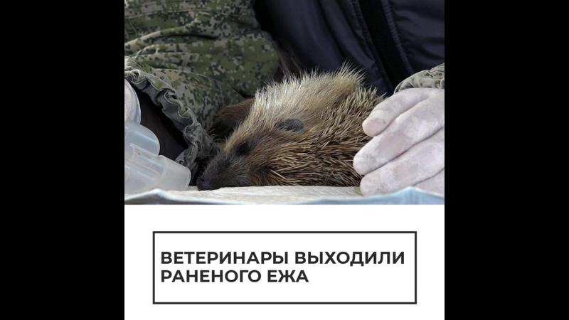Ветеринары выходили раненого ежа
