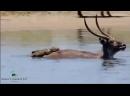 Зловещая охота крокодилов на зебр антилоп и газелей