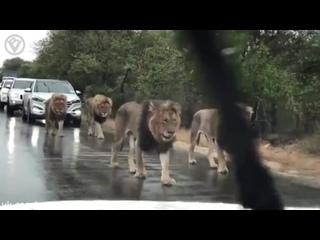Львы остановили движение
