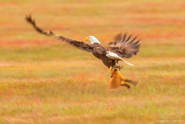 Горькая правда дикой природы. Схватка двух хищников, не поделивших между собой добычу, разыгралась на архипелаге Сан-Хуан, штат Вашингтон, США. Фотографу удалось запечатлеть лису, которая гордо