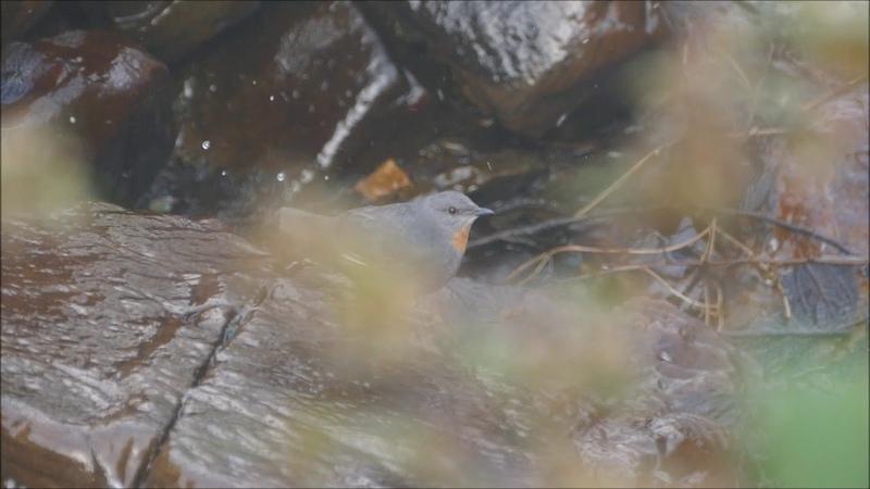 Рыжегорлая оляпка Cinclus schultzi Rufous throated dipper