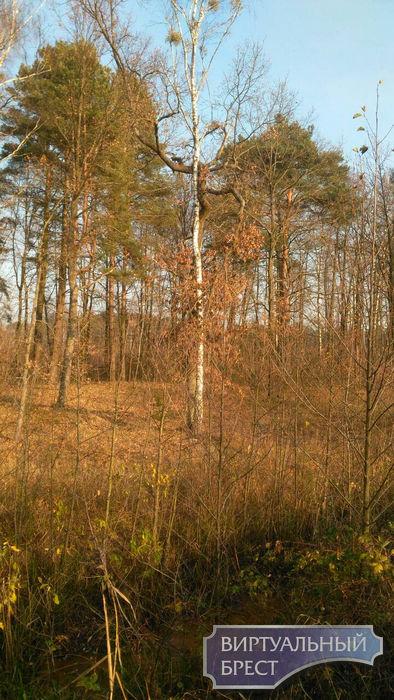 В Беловежской пуще обнаружена сросшаяся сосна. Такой вы не видели