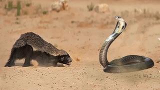 The HONEY BADGER, the most Fearless Animal in the world | Honey Badger vs Lions, Cobra Snake