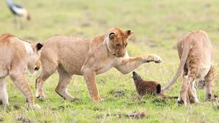"""Мангуст против львов, такой отваги львы не ожидали! Самые эпичные битвы диких животных """"за 5 минут"""""""