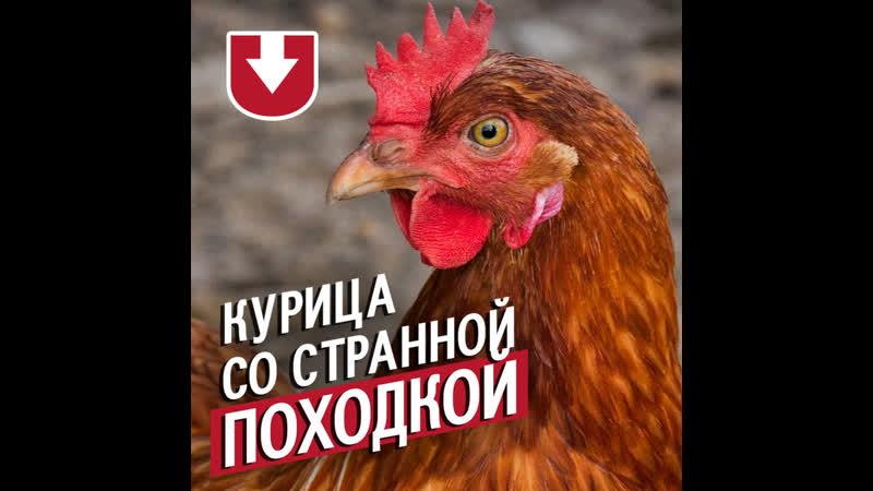 Курица ходит прямо как утка