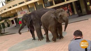По улицам слона водили... даже двух!